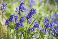 Free Wild Bluebells Royalty Free Stock Photos - 85602978