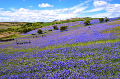 Wild bluebells on Dartmoor Royalty Free Stock Photos