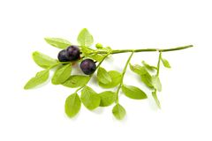 Wild blueberrie Royalty Free Stock Image