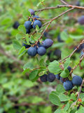 Wild Blueberries. A wild blueberry bush in interior Alaska droops from the heavy load of delicious blueberries Royalty Free Stock Images