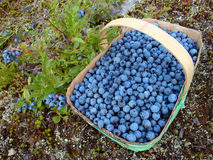 Wild blueberries. Fresh wild blueberries fill a basket Stock Photography
