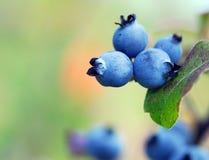 Wild Blueberries. Some wild blueberries (Vaccinium myrtilloides) on their shrub Stock Image
