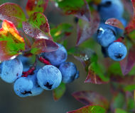 Wild Blueberries. Some wild blueberries (Vaccinium myrtilloides) on their shrub Stock Photography