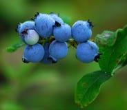 Wild Blueberries. Some wild blueberries (Vaccinium myrtilloides) on their shrub Royalty Free Stock Photo