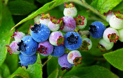 Wild Blueberries Royalty Free Stock Photography