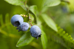 Wild blueberries Stock Photos