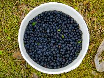 Wild blueberries bucket Royalty Free Stock Images