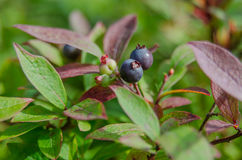 Wild Blueberries on Bush Stock Images