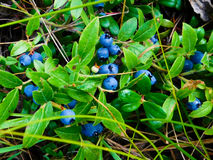 Wild blueberries in a Canadian forest royalty free stock photo