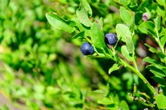 Wild blueberries Royalty Free Stock Image