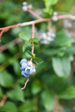Wild Blueberries Royalty Free Stock Images