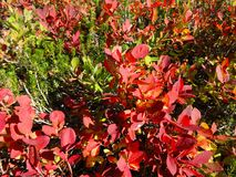 Wild blueberries with fall colors Royalty Free Stock Photo