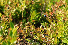 Wild blueberries growing in the Black Forest, Germany Stock Images