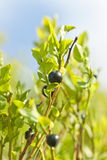 Wild blueberries macro Royalty Free Stock Image