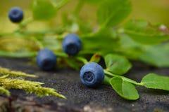 Wild blueberries macro Stock Photos