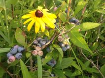 Wild Blueberries in a Park. Royalty Free Stock Photography