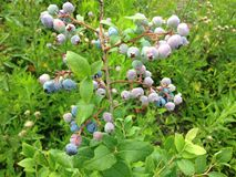 Wild Blueberries in a Park. Royalty Free Stock Photo