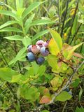 Wild Blueberries in a Park. Royalty Free Stock Photos