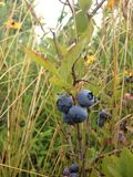 Wild Blueberries in a Park. Stock Photo