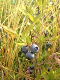 Wild Blueberries in a Park. Stock Image