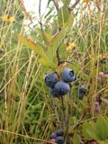 Wild Blueberries in a Park. Stock Photos