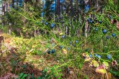 Wild blueberries Royalty Free Stock Image