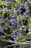 Wild blueberries ripening. In a Swedish Island hedgerow Stock Photography