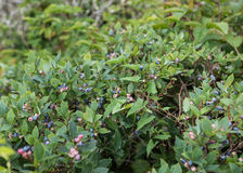 Wild Blueberries Ripening on Bush Stock Photos