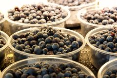 Wild blueberries for sale in a supermarket. Tiny wildcrafted wild blueberries are piled in open plastic containers on a supermarket shelf Royalty Free Stock Photo