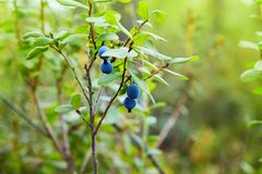 Wild blueberries on their shrub on a green nature background. stock images