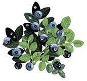 Wild blueberries Royalty Free Stock Photos