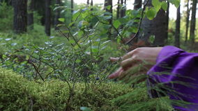 Wild Blueberries. Woman harvesting wild blueberries in a forest in Sweden stock footage