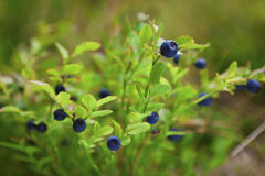 Wild blueberry. In alpine forest Stock Image