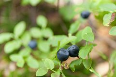 Wild blueberry bush, cultivated agriculture.  royalty free stock image