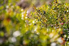 Wild blueberry bush. Dreamy wild blueberries close up on a sunny day with lens flare and strong bokeh. stock photo