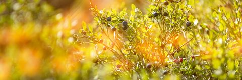 Wild blueberry bush. Dreamy wild blueberries panoramic banner on a sunny day with lens flare. royalty free stock photography