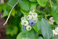 Wild Blueberry cluster in July Stock Photos