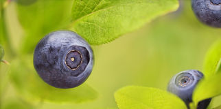 Wild Blueberry. Wild Forest Blueberry close up Royalty Free Stock Photo