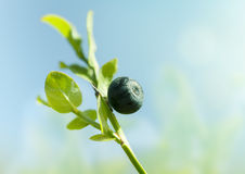 Wild blueberry macro Royalty Free Stock Photography
