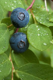 Wild blueberry royalty free stock photography