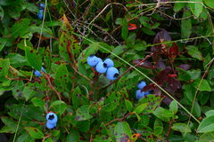 Wild blueberry. Wild Maine blueberries in a field not harvested Royalty Free Stock Photos