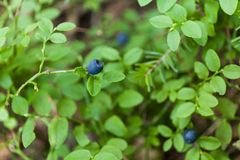 Wild blueberry picking in forest, autumn antioxidant food royalty free stock photography