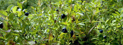 Wild Blueberry Plants Panorama. Panorama of wild blueberry plants growing in the forest Stock Photography