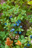 Wild blueberry Stock Photography