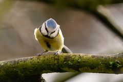 Wild bluetit in a tree. Portrait of a bluetit perching on a branch Stock Images