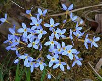Wild Bluets On The Forest Floor Stock Photography