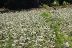 Wild Blumen alles Spitze der Königin Anns Lizenzfreies Stockbild