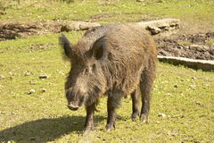 Wild boar 02. Wild boar on a glade Stock Photos