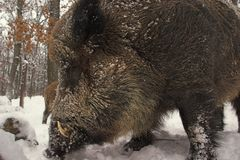 Wild-boar 1. Royalty Free Stock Image