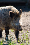 Wild boar. Grazing on pasture on a sunny day royalty free stock images